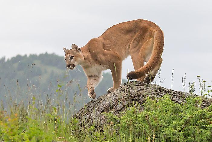 Cougar and prey i - 5 4