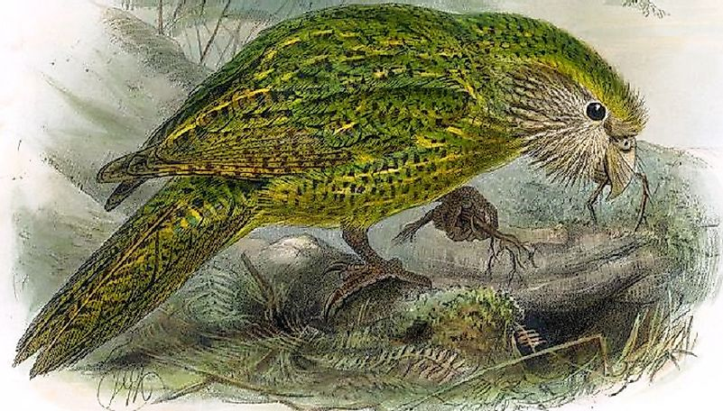 Did You Know The Pleasant Fragrance Of The Kakapo Bird Has Led To Its Threatened Status?