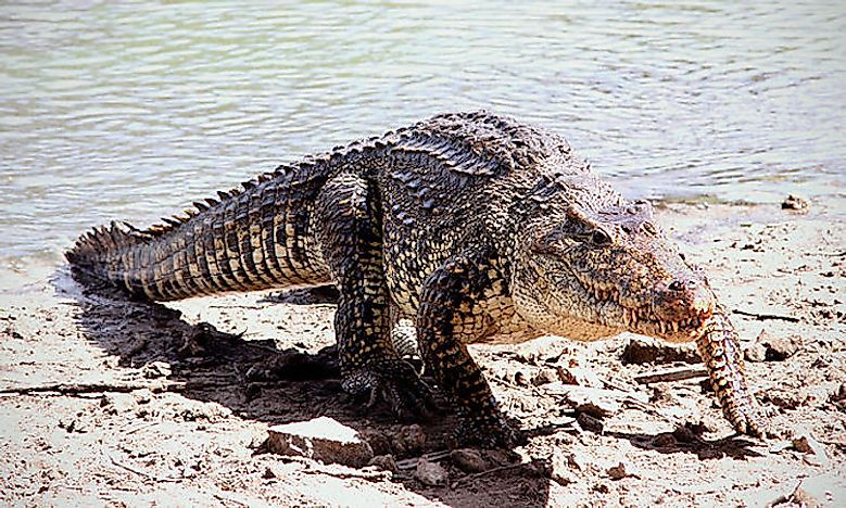 #11 Cuban crocodile -