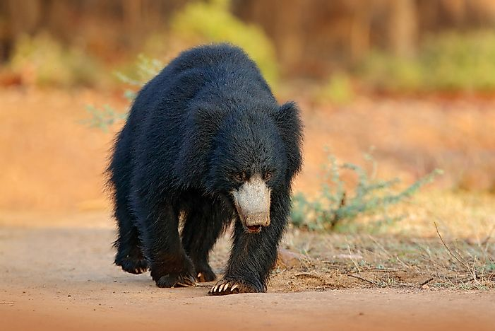 #5 Indian Sloth Bear