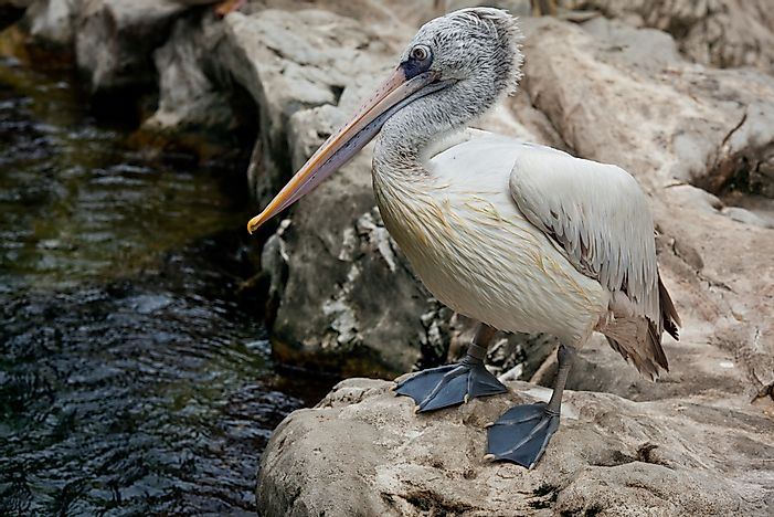 A spot-billed pelican.
