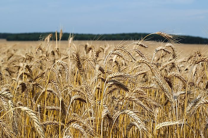 Top Triticale Producing Countries in the World