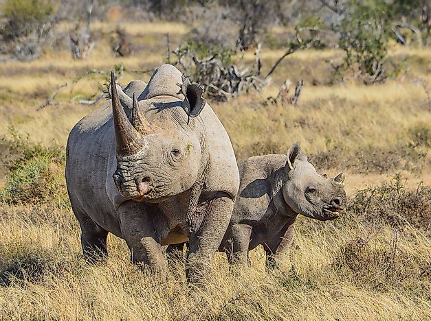How Many Rhinos Are There on Earth?