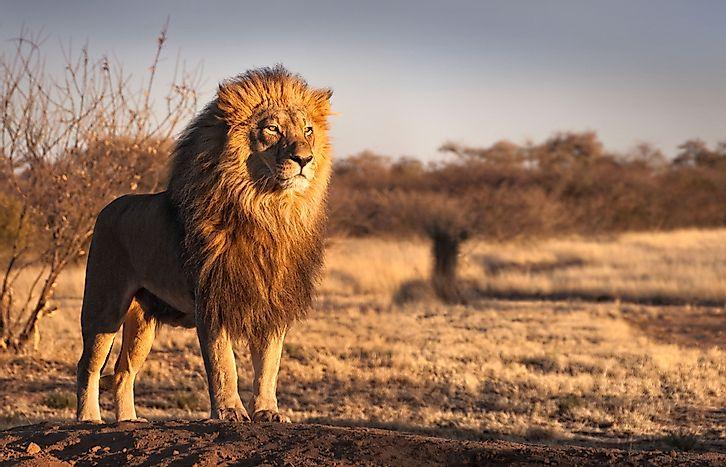 Animals of the Kalahari Desert - WorldAtlas.com  Animals of the ...