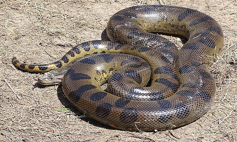 Anaconda Facts - Live Science