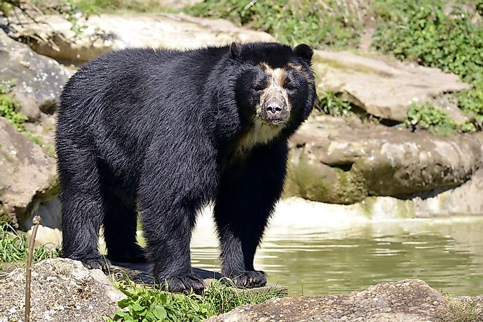 #3 Spectacled Bear - 340 lb