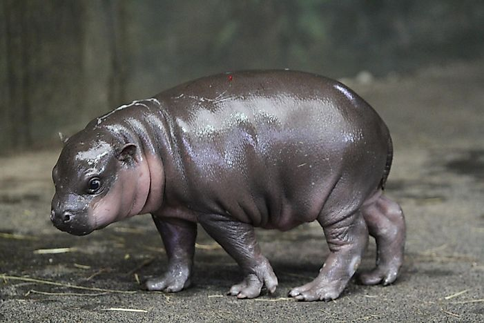 Pygmy Hippo Facts: Animals of Africa