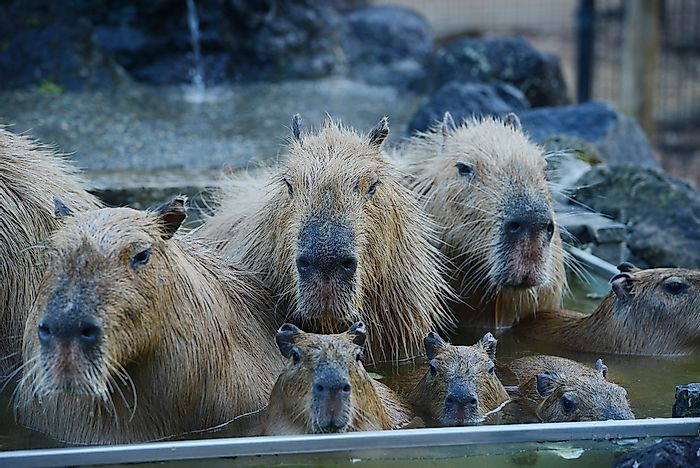 #3 There are hot springs in Japan that are home to capybaras.