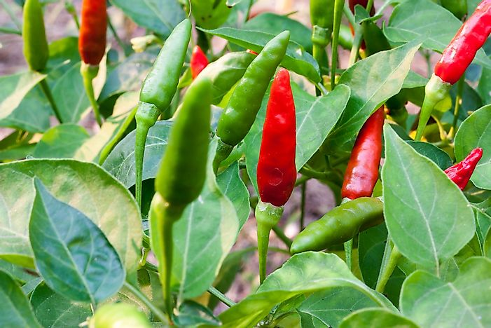 Malagueta peppers growing on a bush.