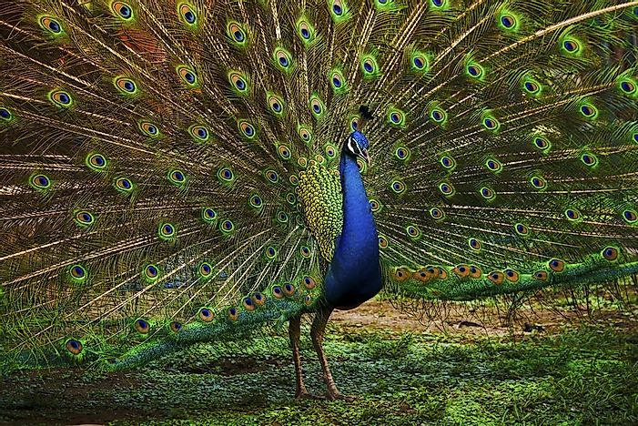 #7 Indian Peafowl