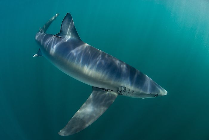Sharks us their lighter undersides and darker upper sides to blend in with the surrounding water.