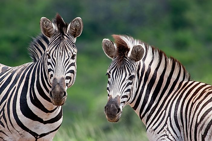 Burchell's zebras in South Africa.