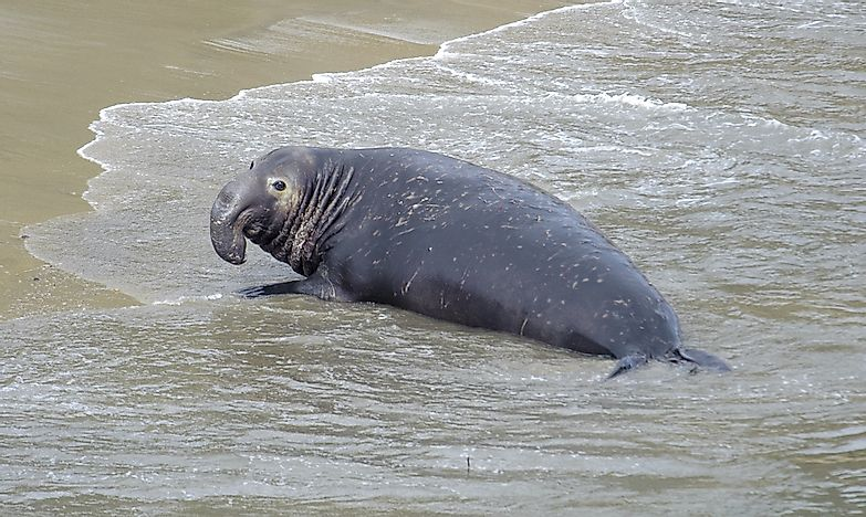 Elephant Seal Facts - Animals of the Oceans
