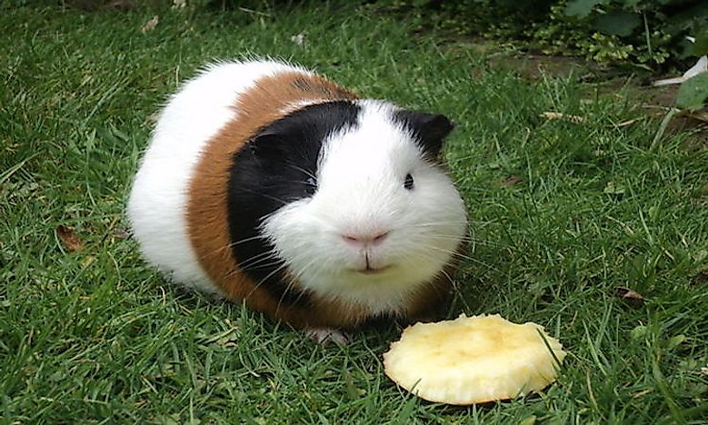 R Guinea Pigs Rodents What Are Rodent...