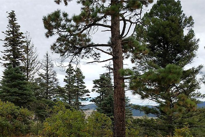 Do Evergreen Trees Lose Their Leaves?