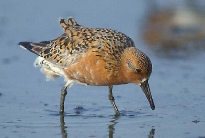 Red Knot - Birds Of The Arctic
