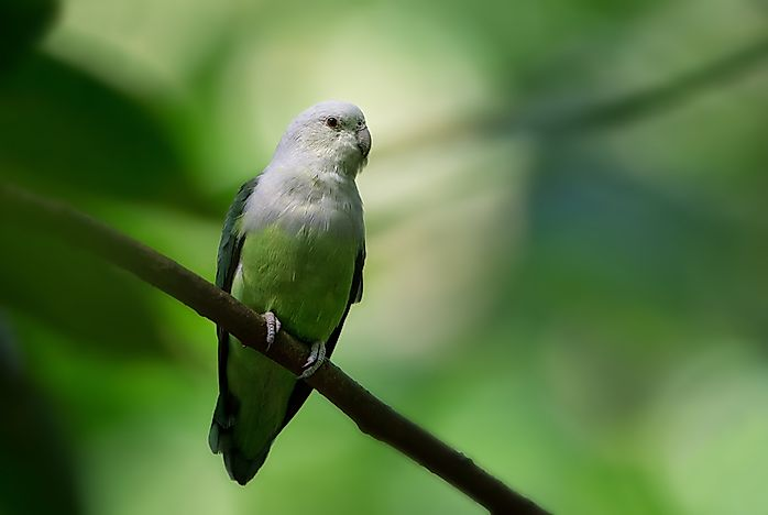 #1 Grey-headed Lovebird
