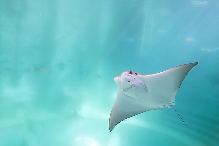 The cownose ray is known for its look, which is as if it is smiling.