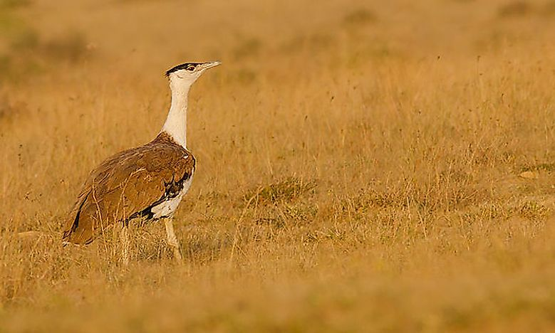 #4 Great Indian Bustard -