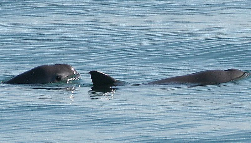 Vaquitas - Rare Animals Of Mexico