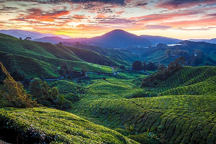 The Sungai Palas Tea Plantation.