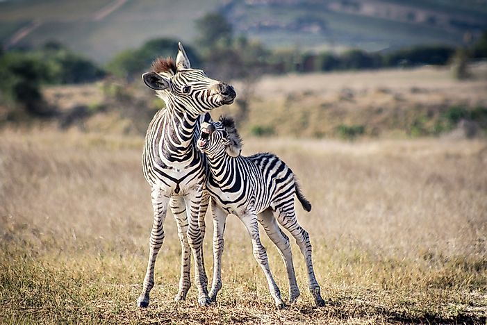 The zebras' unique patterned stripes confuse predators.