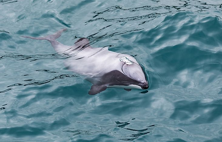 The hector's dolphin is the smallest dolphin.