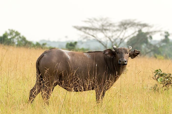 A forest buffalo in Conkouati-Douli National Park, Republic of the Congo.