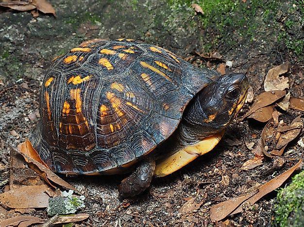 Threatened Turtles Of Canada - WorldAtlas.com