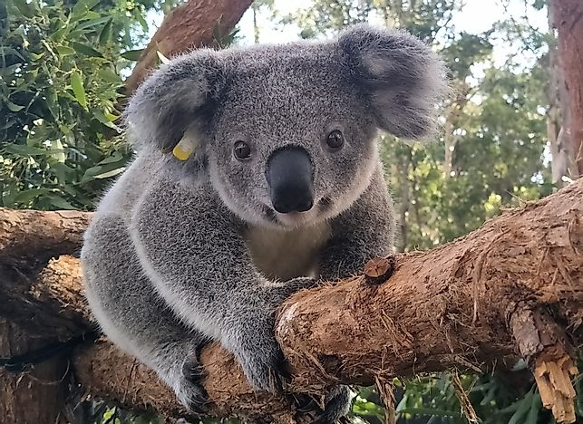 Koala Populations Challenged by Habitat Destruction