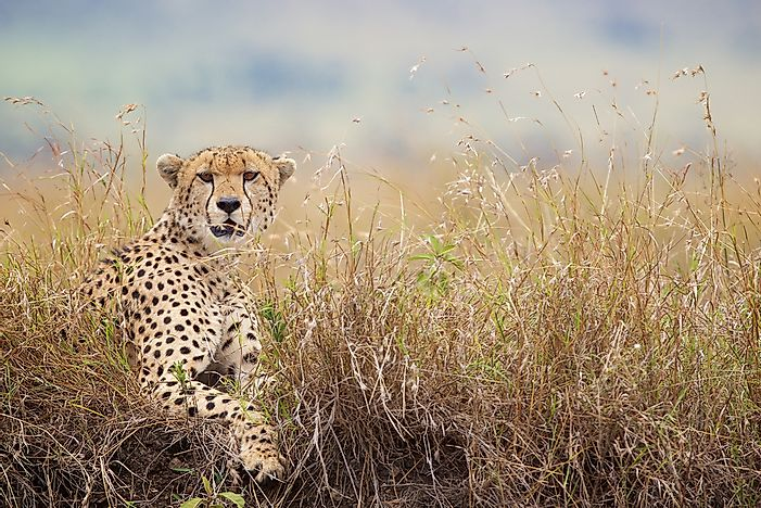 How Many Types Of Cheetahs Are There? - WorldAtlas com
