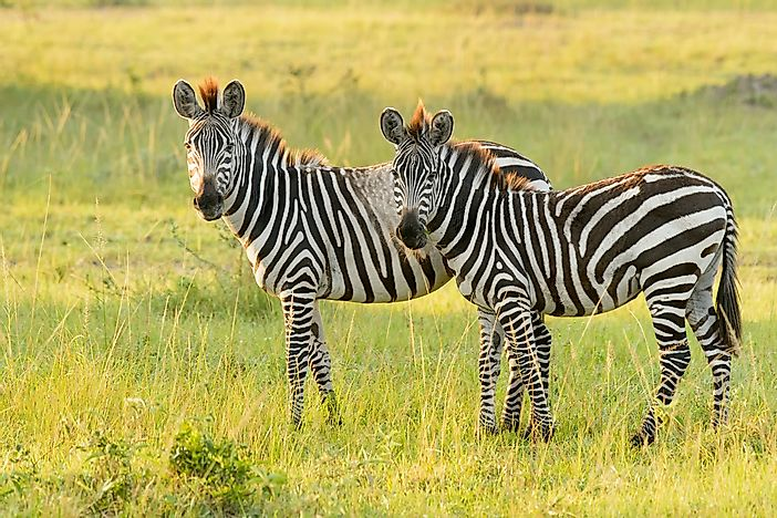 The plains zebra is the most common zebra type.