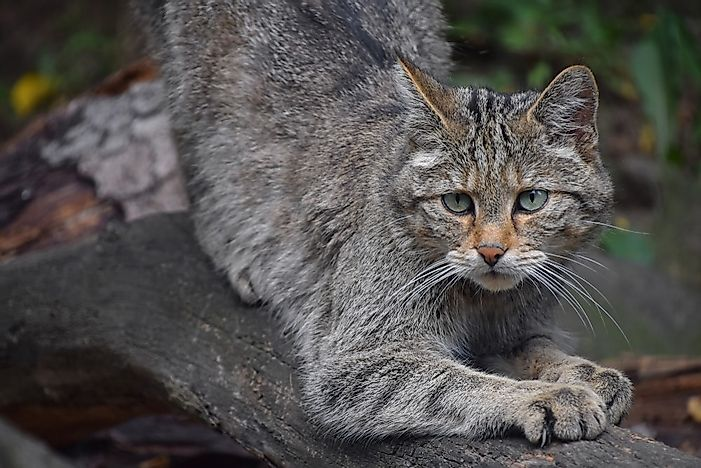 #4 European Wildcat