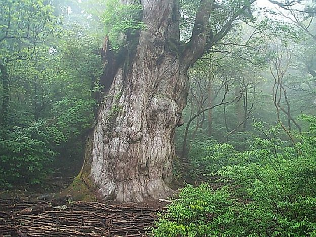 #2 Jomon Sugi, Japanese Cedar, Yakushima, Japan (~5,000 years old)