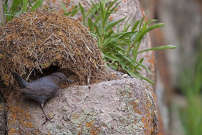 An American dipper and its nest.