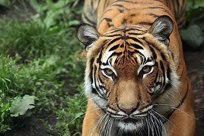 Most Threatened Tigers In The World Worldatlas Com