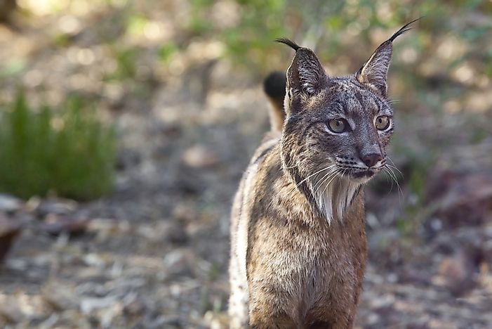 Spain's Endangered And Threatened Mammals