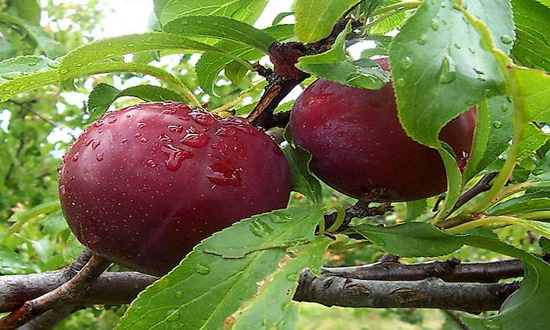 The Leading Producers Of Plum In The World