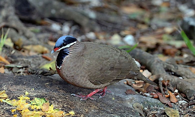 #11 Blue-Headed Quail-Dove -