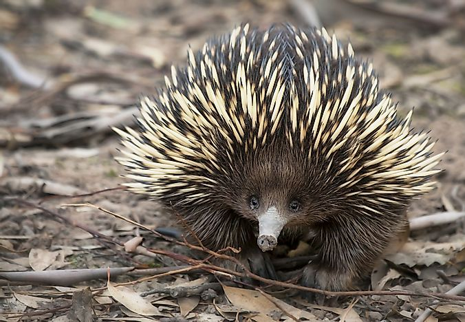The spikes of the echidna act as their defence system.