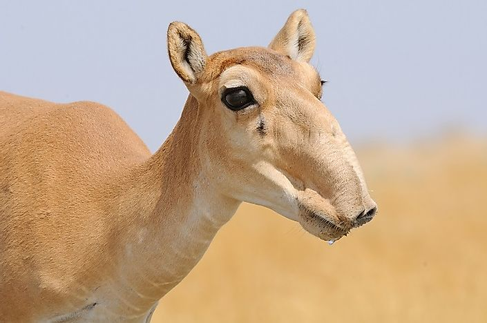 ​Why Are The Saiga Antelopes Going Extinct?