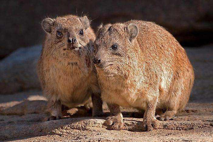 Rock Hyrax Facts: Animals of Africa