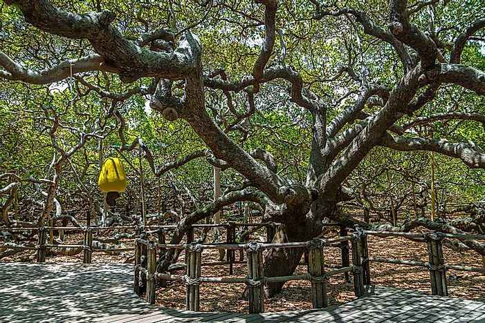 Cashew Tree of Pirangi - Natural Wonders of South America