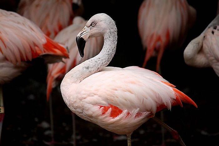 #3 Chilean Flamingo