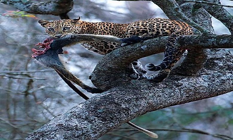 #2 Indian Leopard -