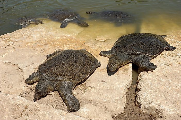 #10 Soft Shell Turtles