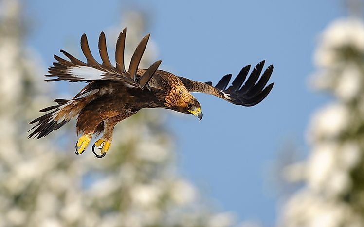 # 2 Golden Eagle
