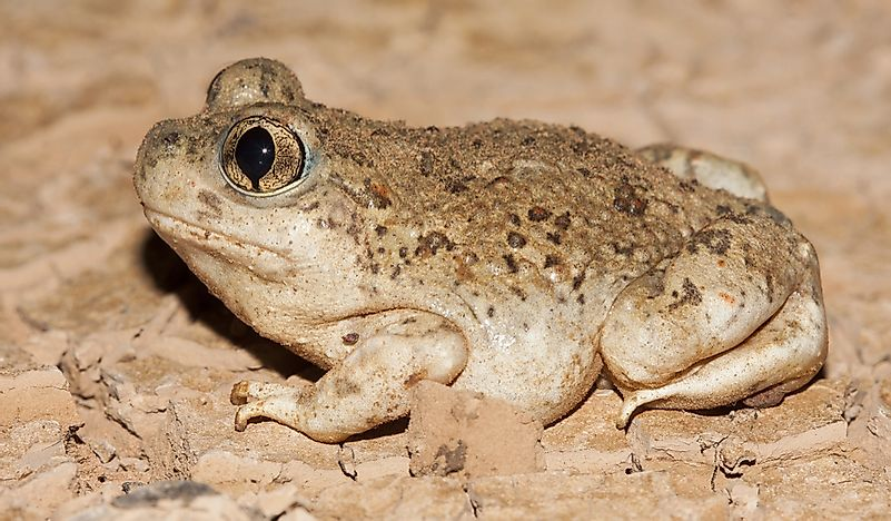 What Is The New Mexico State Amphibian?