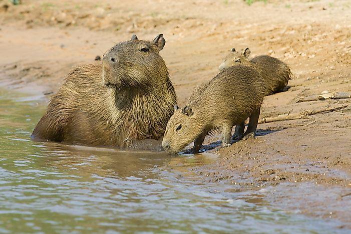 How long do capybaras live