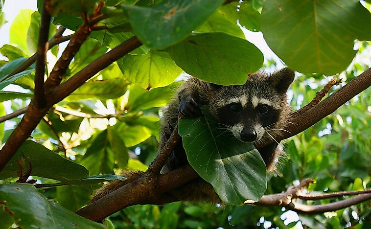 #6 Pygmy Raccoon